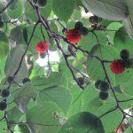 見上げれば、大きな樹木に実る赤い実。なんかビーズみたいなこの実は、なんの実?/旧暦8/10・丁卯