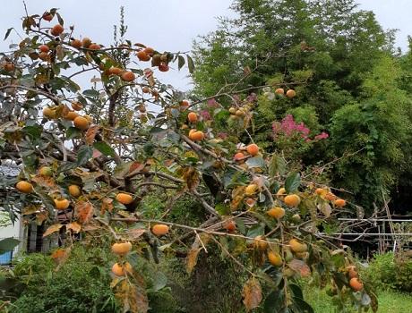 母の柿の樹