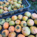 母の庭では、まだまだ柿の収穫中。今年は大豊作だそうですが、はたして私は柿をいただくことができるのか?/旧暦9/10・丙申